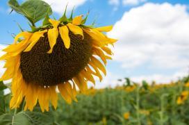 Sunflower Seeds, Guslar, Jason, Forward, Basalt, Ra
